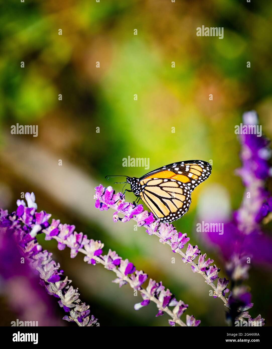 Monarch butterfly (Danaus plexippus) perching on pink flower Stock Photo
