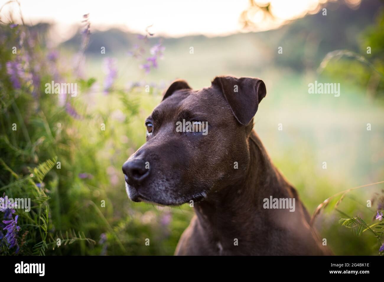 Mixbred dog in the evening sun Stock Photo