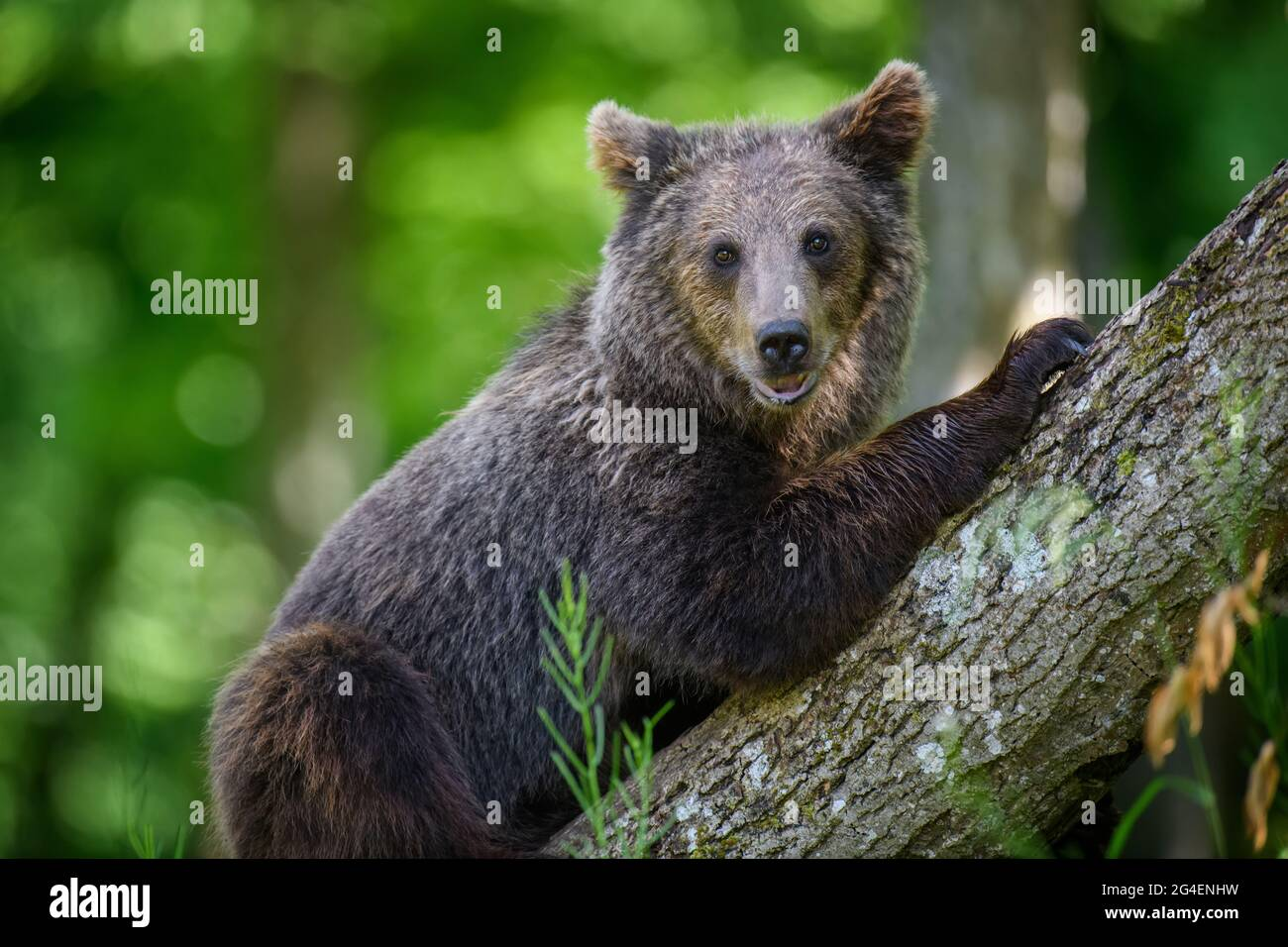 Wild Brown Bear (Ursus Arctos) in the summer forest. Animal in natural habitat. Wildlife scene Stock Photo