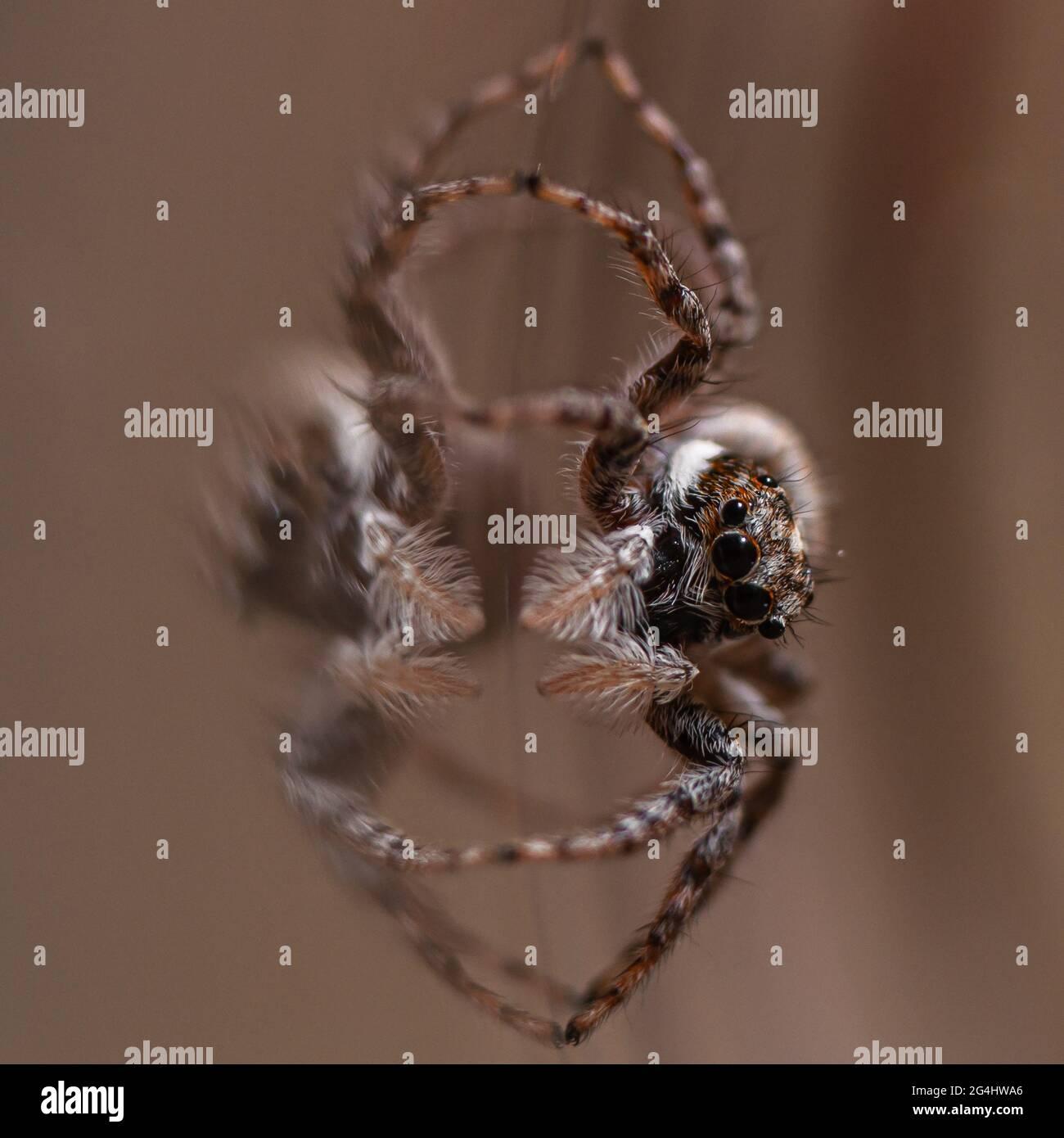 close-up of a Jumping spider Menemerus semilimbatus Stock Photo