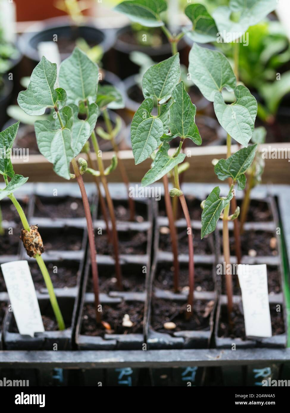 Pole and bush bean seedlings in a root trainer Stock Photo