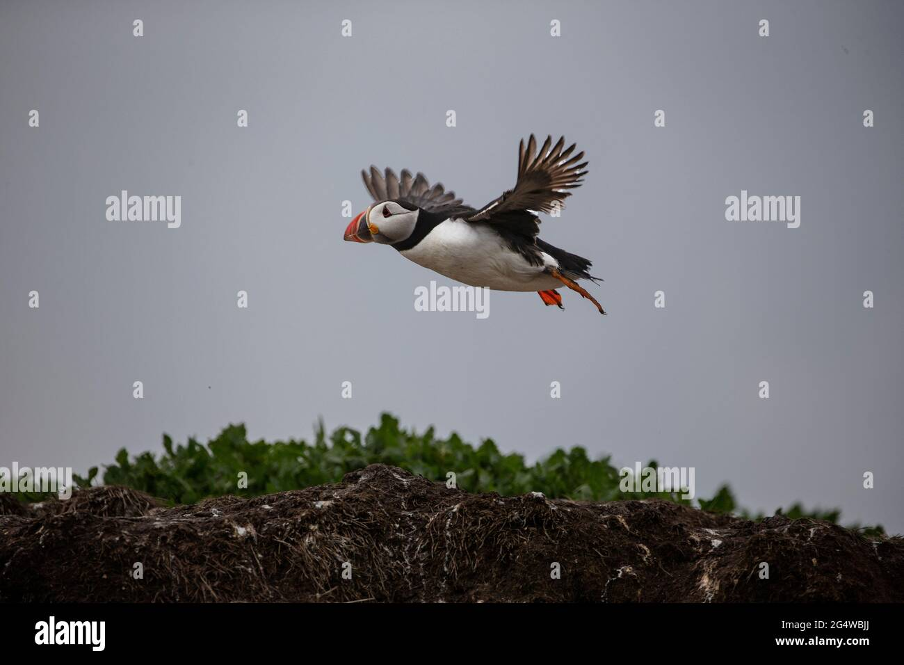 Atlantic puffin Fratercula arctica coming in to land on the Inner Farne island during the breeding season in Northumberland, England U.K. Stock Photo