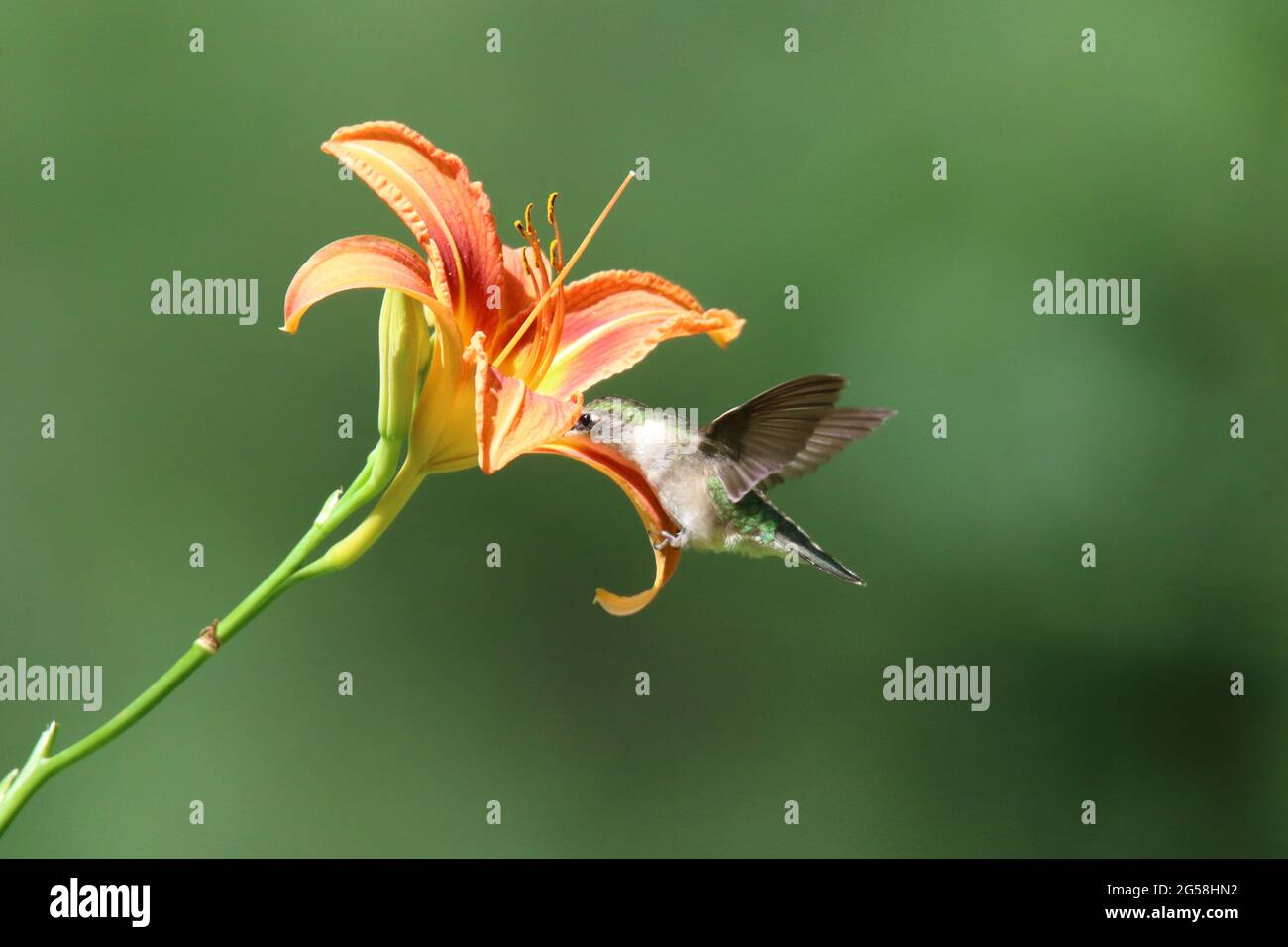 Female Ruby Throated hummingbird feeding on nectar from a daylily flower Stock Photo