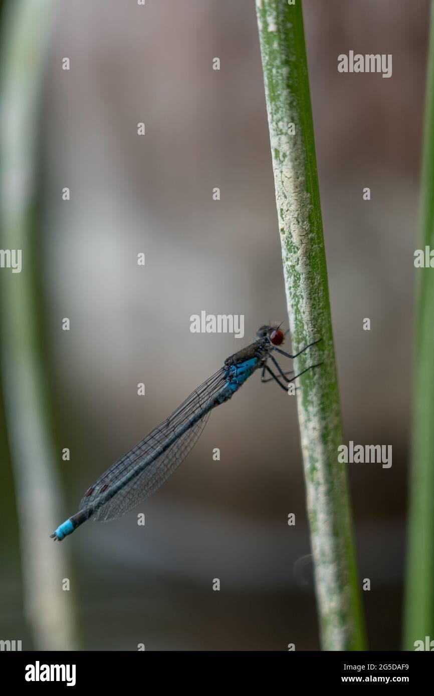 Dragonfly at Dłużek lake in Mazury (Poland) Stock Photo