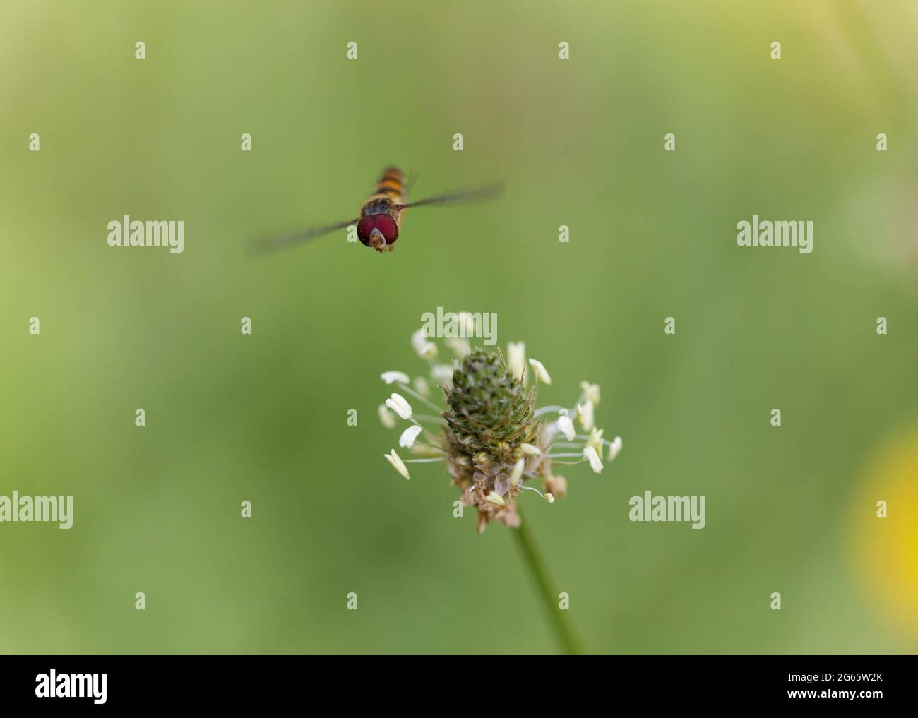 Marmalade Hoverfly Episyrphus balteatus flying or foraging on flower Stock Photo