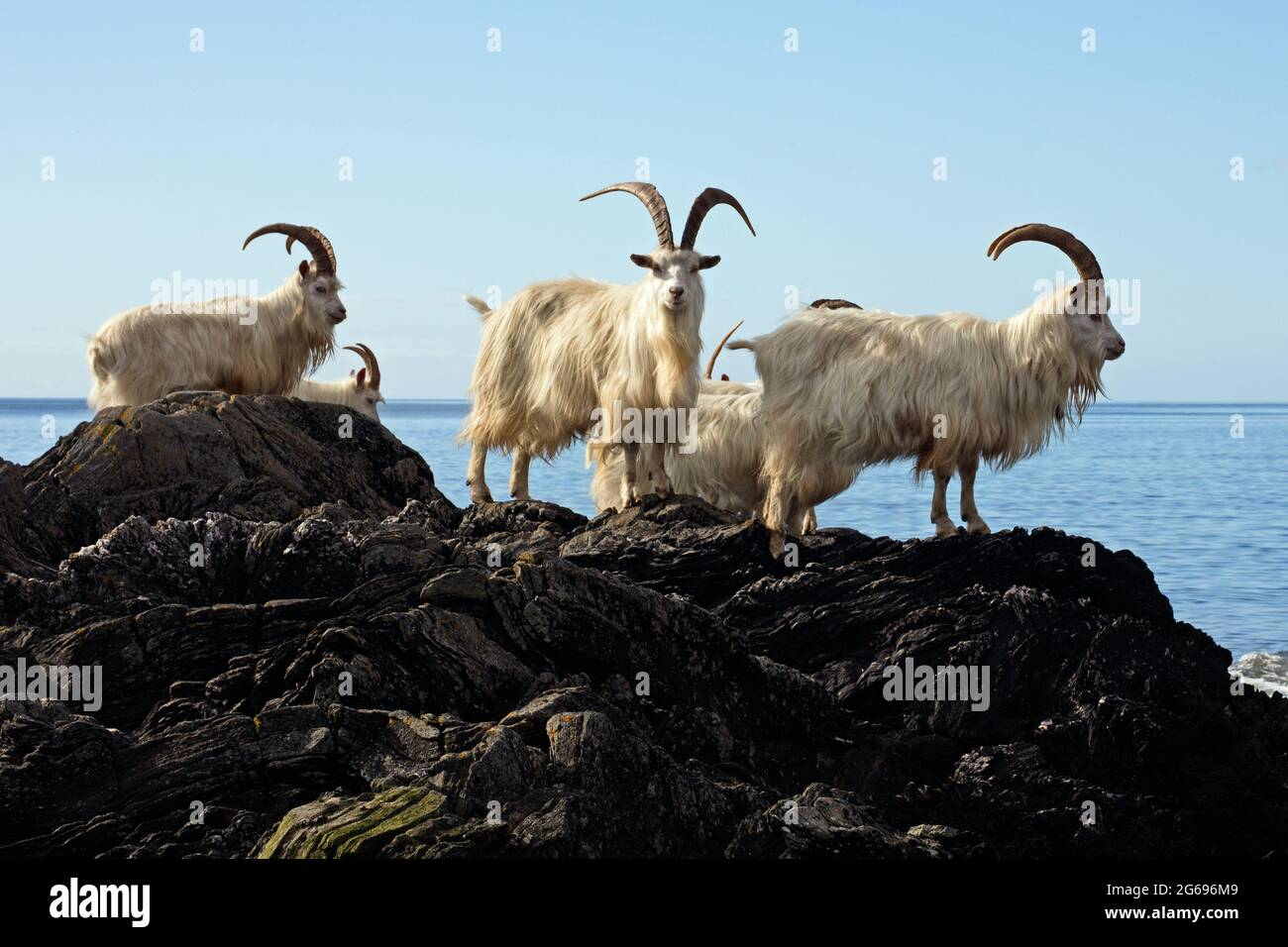Feral Carradale Goats (Capra Aegargus) on the headland beside Carradale Bay, with Arran beyond, Kintyre, Argyll, Scotland, United Kingdom, Europe. Stock Photo