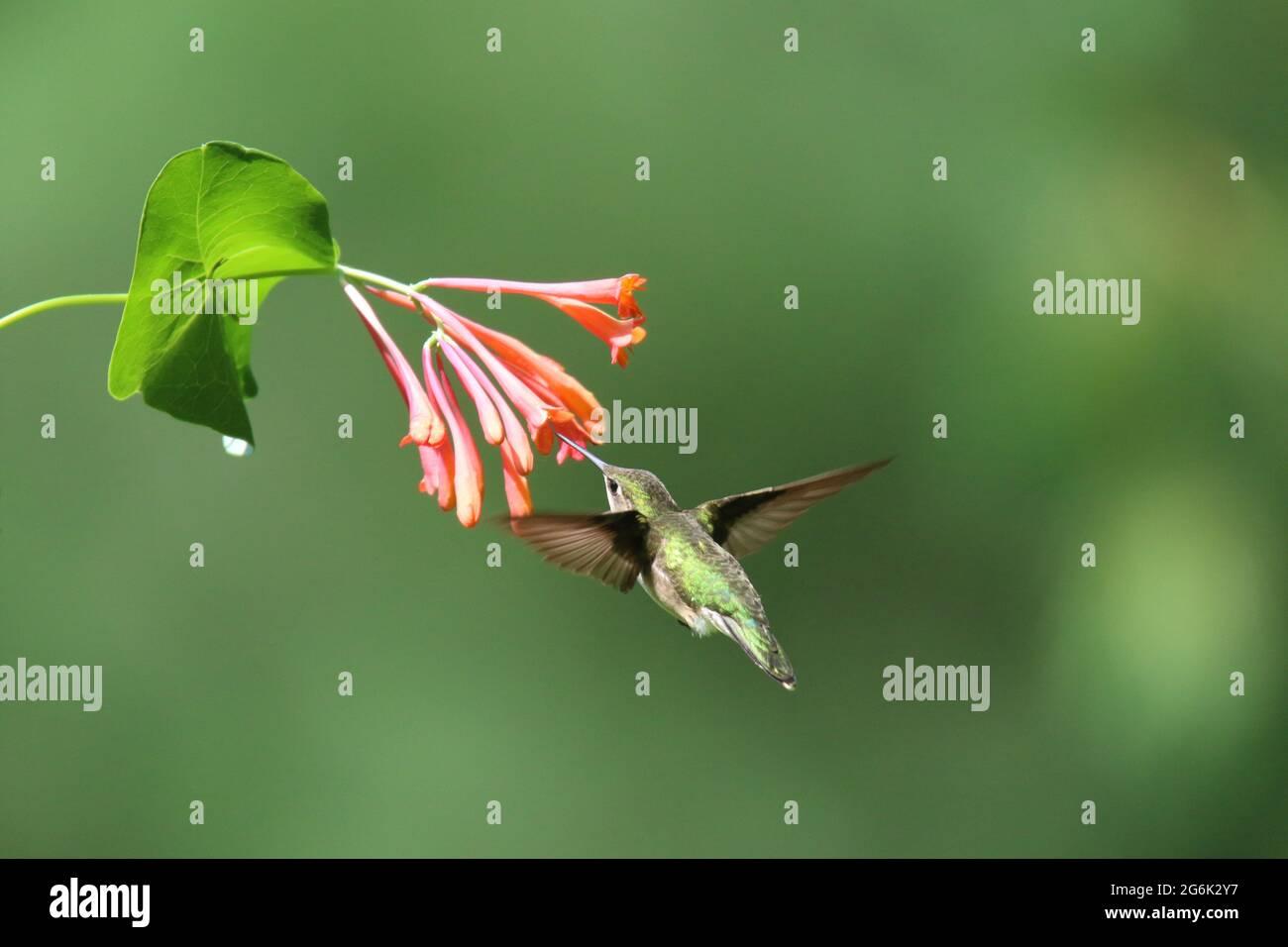 Female ruby throated hummingbird visiting honeysuckle flowers to feed on nectar Stock Photo