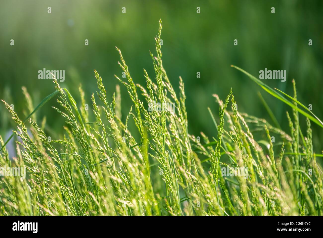 View of grass garden concept used for making green flooring, lawn for training football pitch, Grass Golf Courses green lawn pattern textured backgrou Stock Photo