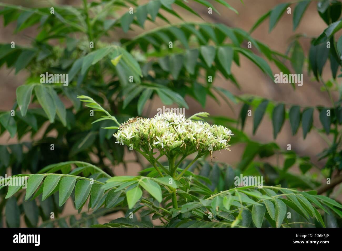 Murraya Koenigii High Resolution Stock Photography And Images Alamy