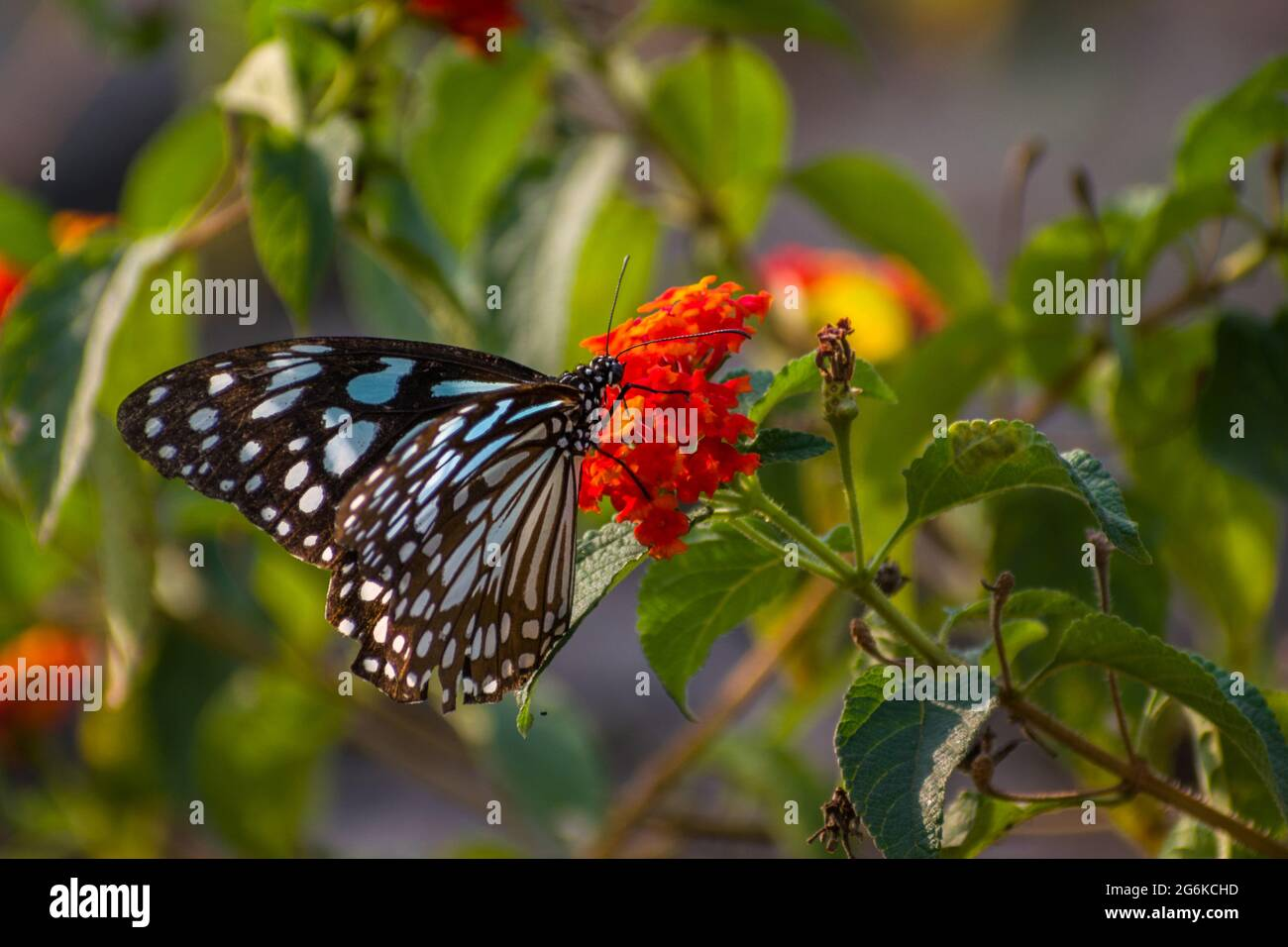 A beautiful Blue Tiger Butterfly perched on flowers at a park in Mumbai, India Stock Photo