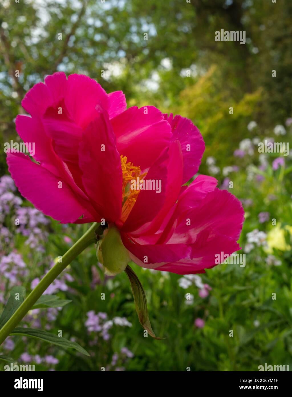 Paeonia 'Scarlet O'Hara, peony 'Scarlet O'Hara' bloom in close-up Stock Photo