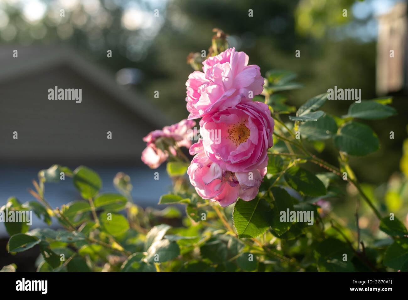 Wild roses on a bush in the country. Stock Photo