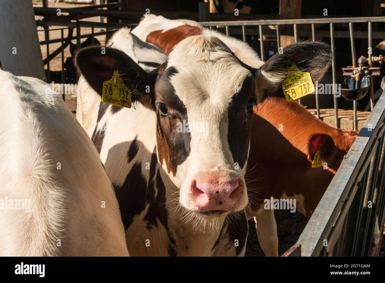 Kälberzucht auf einem dem Tierwohl, verpflichtendem Bauernhof in der Holsteinischen Schweiz Stock Photo