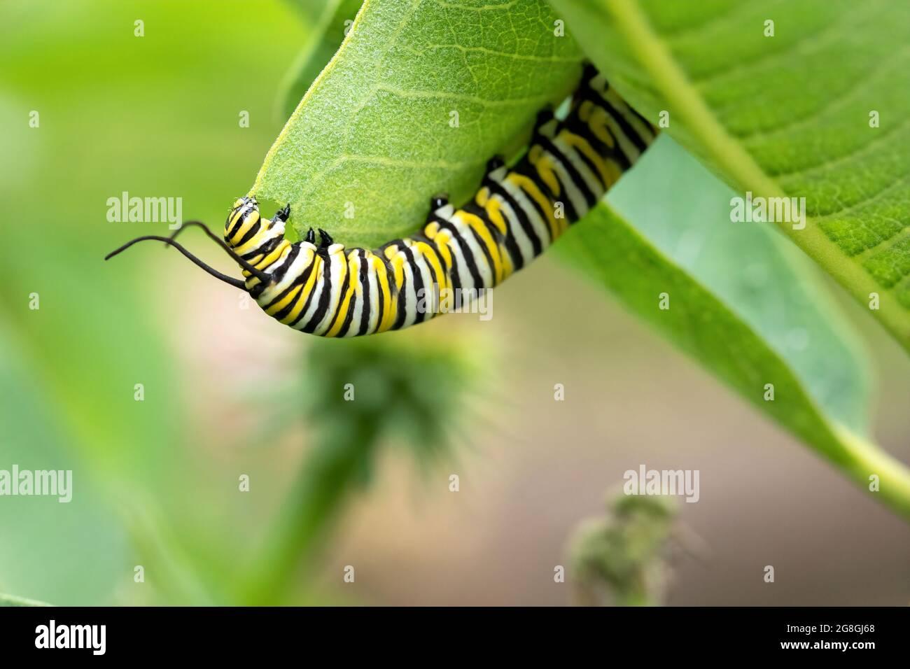 Monarch butterfly caterpillar on common milkweed Stock Photo