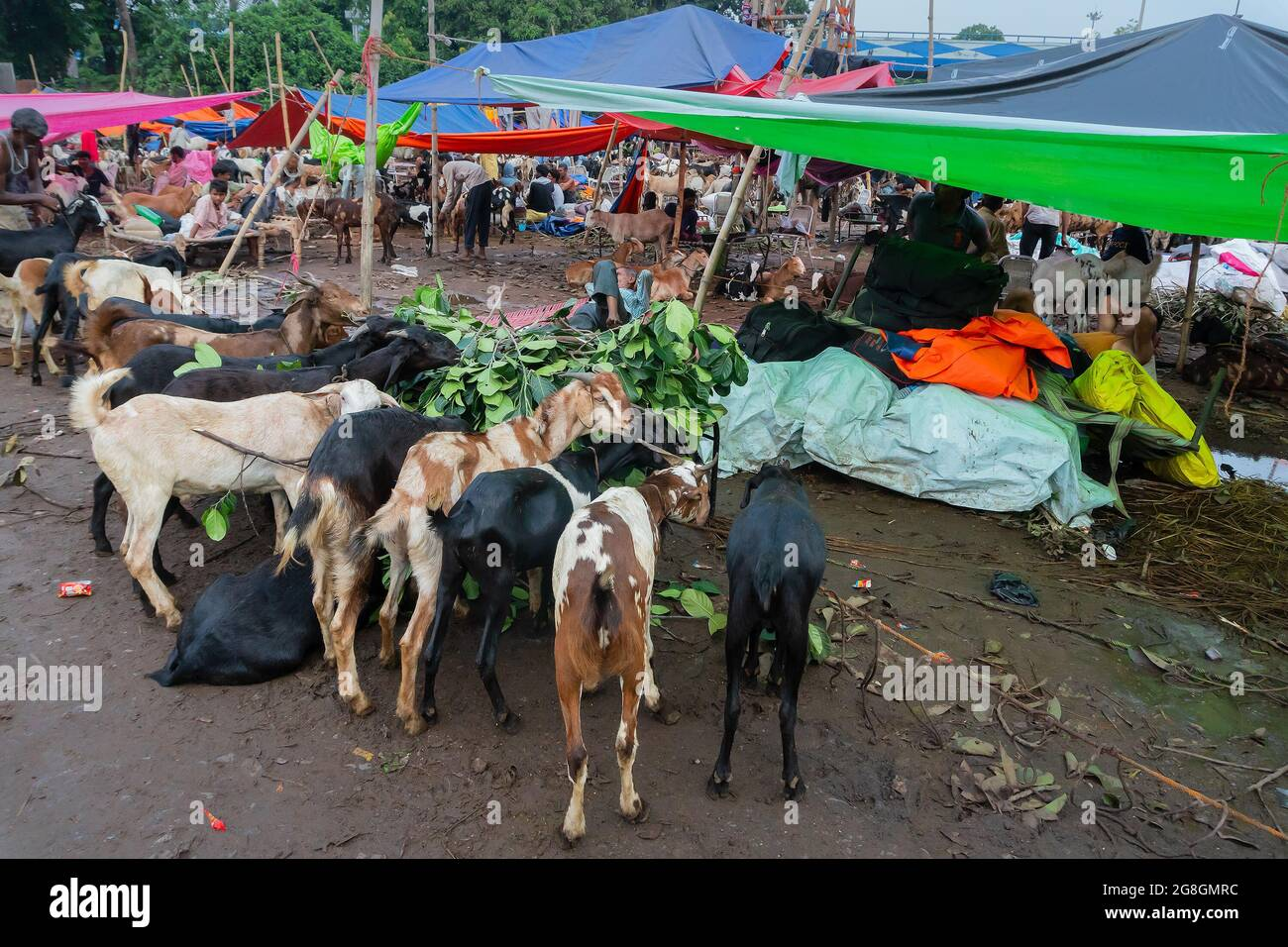 """Kolkata, West Bengal, India - 11th August 2019 : Goats for sale in open market during """"Eid al-Adha"""" or 'Feast of the Sacrifice' or Eid Qurban or """"Fest Stock Photo"""