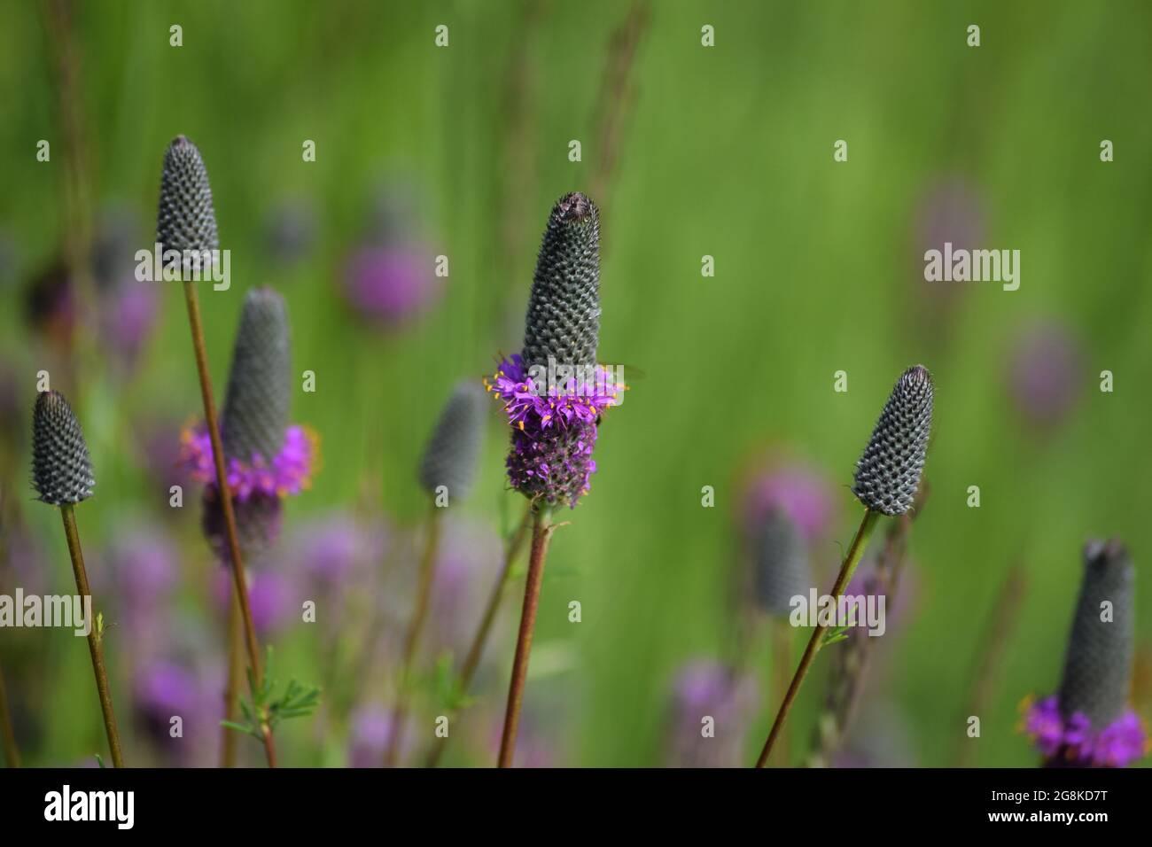 a beautiful blooming purple Prairie clover Stock Photo