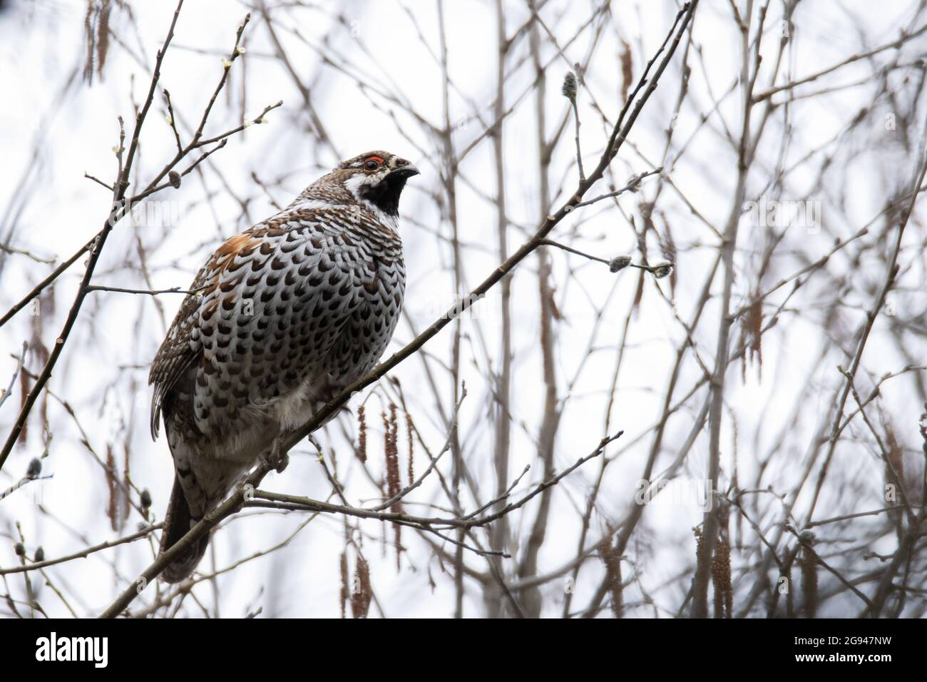 Male Hazel grouse, Tetrastes bonasia perched on a Willow branch in Estonian forest. Stock Photo