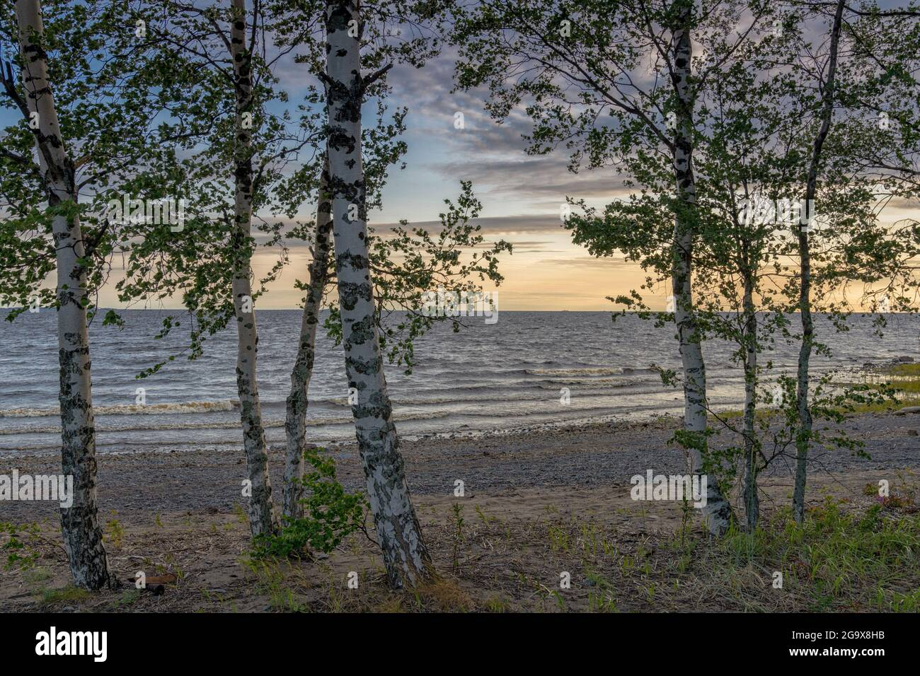 Many birch trees on the Baltic Sea with a sandy beach and gentle waves behind at sunset Stock Photo