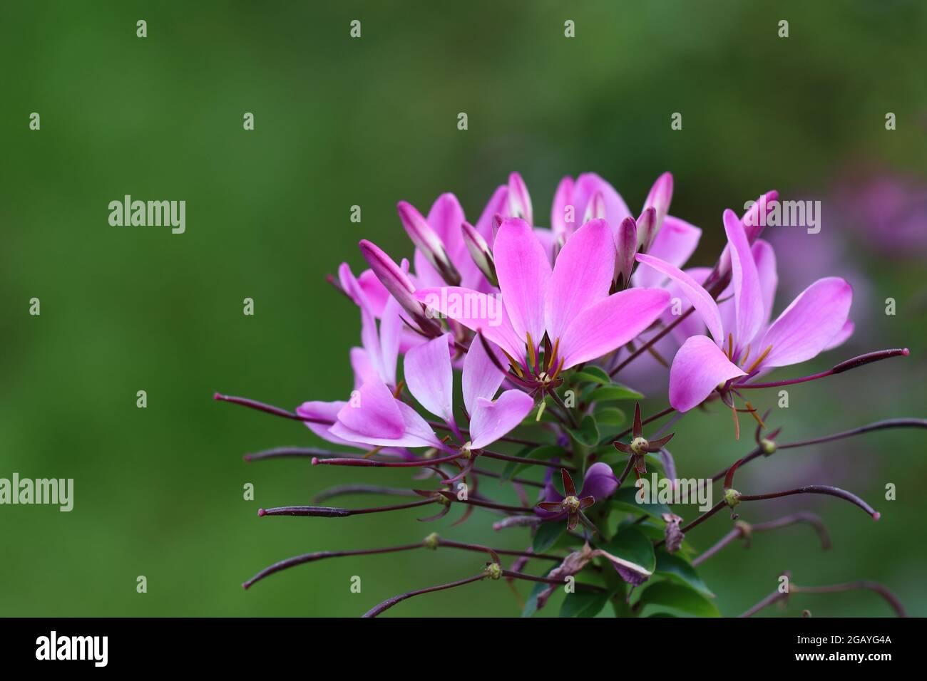 Cleome hassleriana in Nahaufnahme Stock Photo