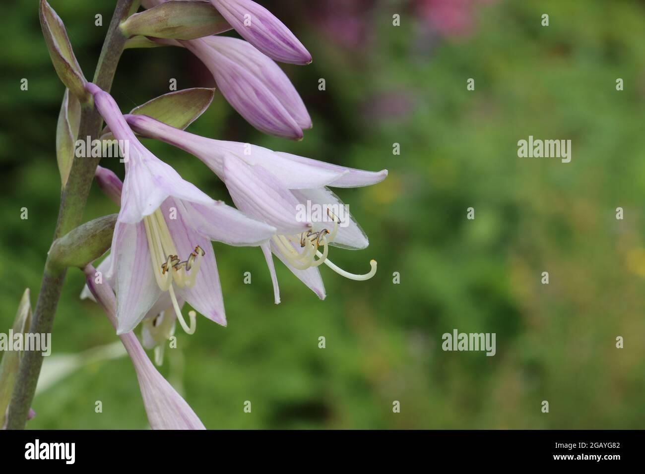 a lily-shaped blossom of a hosta Stock Photo