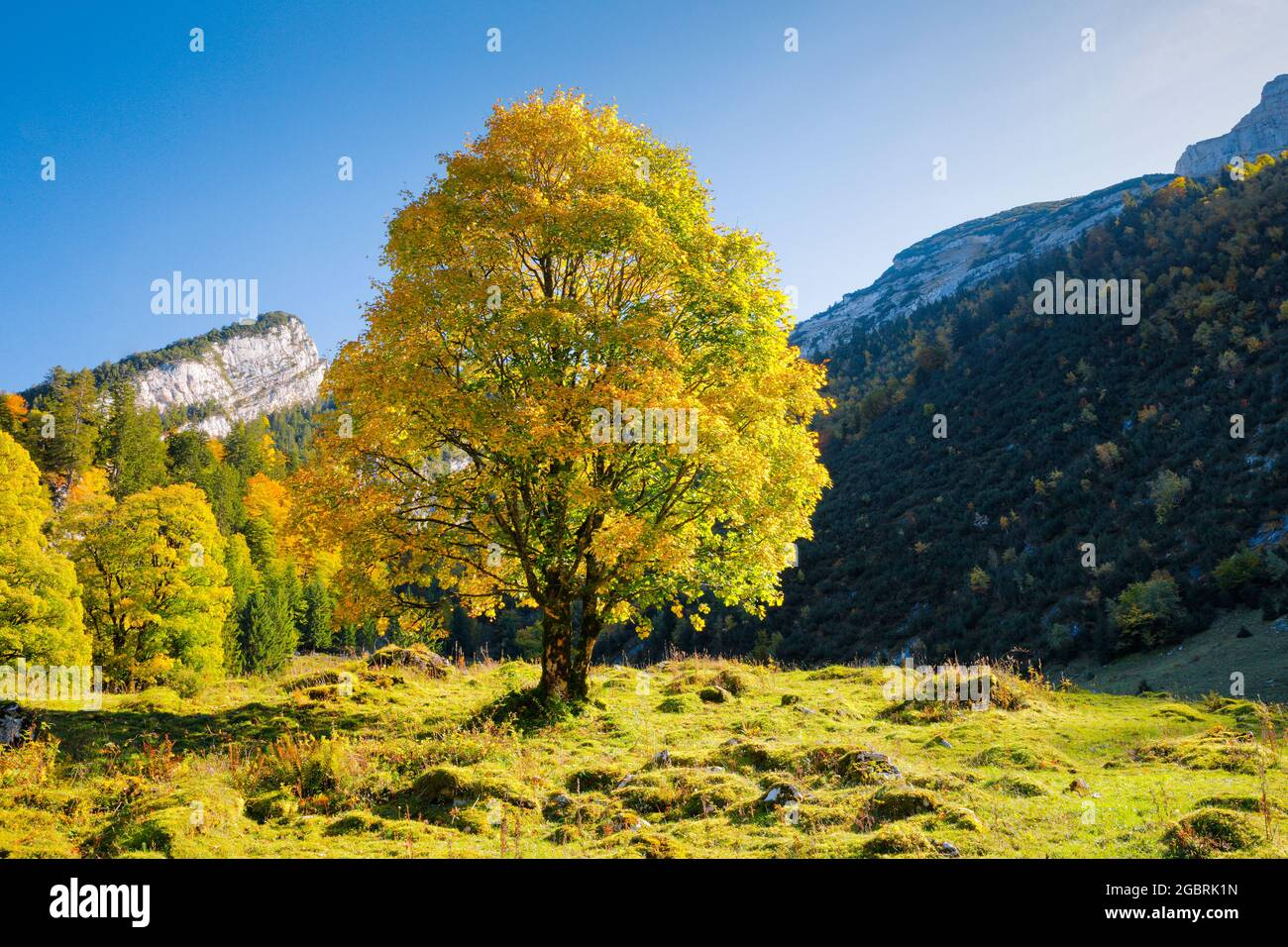 geography / travel, Switzerland, Celtic maple, Acer pseudoplatanus, NO-EXCLUSIVE-USE FOR FOLDING-CARD-GREETING-CARD-POSTCARD-USE Stock Photo