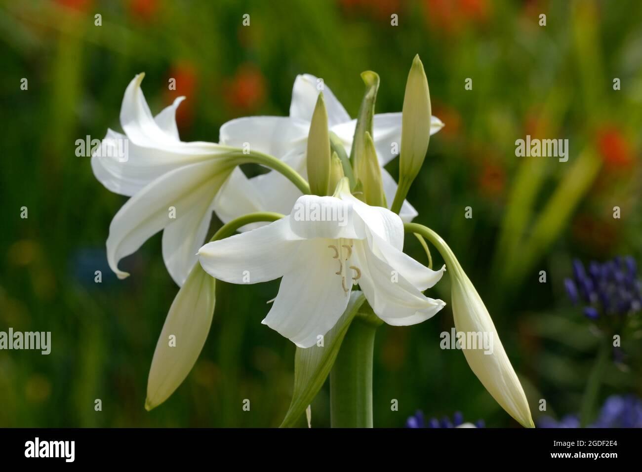 Crinum x powellii Album White Powell lily Swamp Lily  fragrant flowers blooms Stock Photo