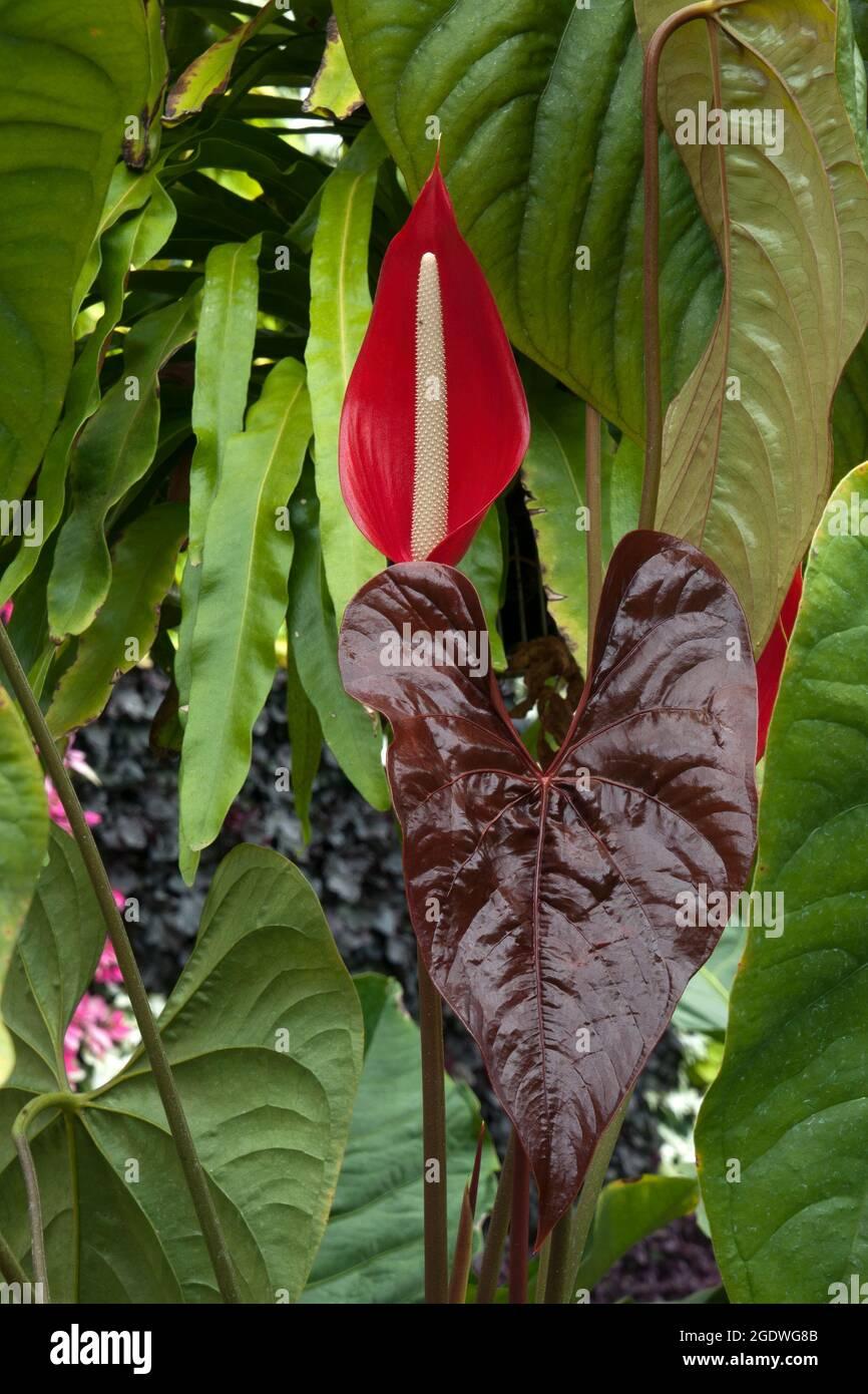TÌNH YÊU CÂY CỎ ĐV.3 - Page 32 Sydney-australia-flower-and-hear-shaped-leaves-of-an-anthurium-chamberlainii-native-to-venezuela-2GDWG8B