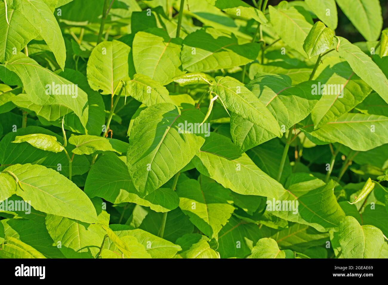 Young leaves of the Japanese knotweed, Fallopia japonica Stock Photo