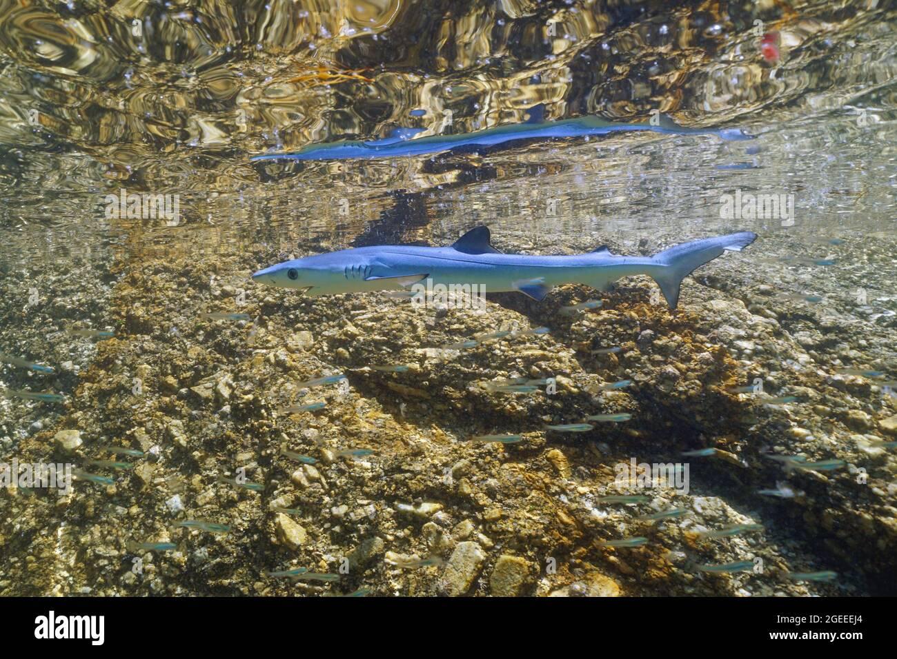 A juvenile blue shark, Prionace glauca, underwater near rocky seashore, Atlantic ocean, Galicia, Spain Stock Photo