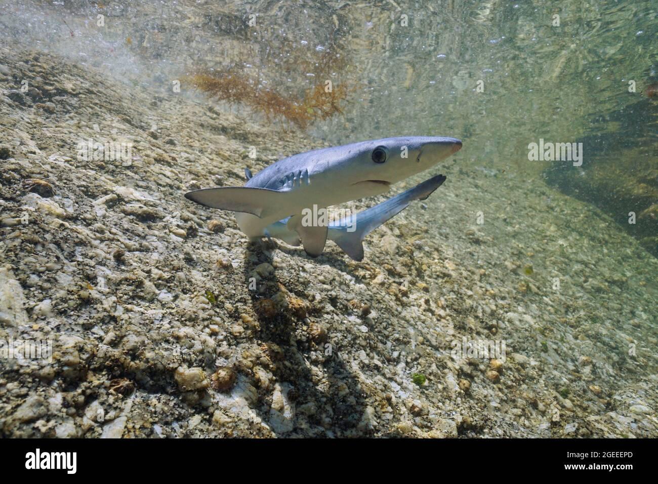 Juvenile blue shark, Prionace glauca, underwater in shallow water, Atlantic ocean, Galicia, Spain Stock Photo