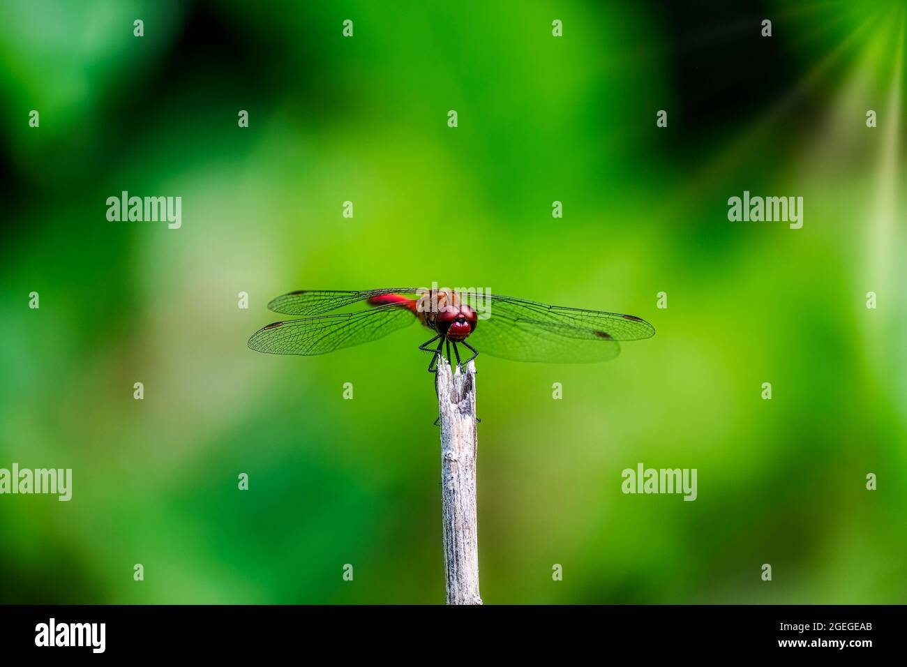 Red dragonfly on a stick against green background Stock Photo