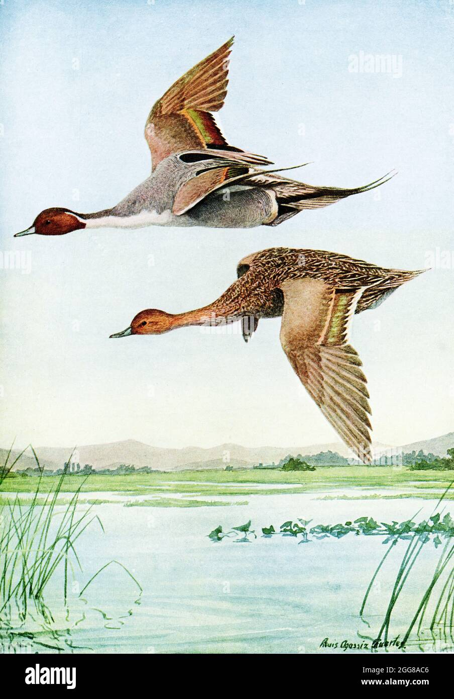 The 1917 caption reads: Pintail Dafila acuta (Linnaeus). The top is a male pintail duck; the bottom is a female. The illustrator is Louis Agassiz Fuertes, Fuertes (1874-1927), an American ornithologist, illustrator and artist who set the rigorous and current-day standards for ornithological art and naturalist depiction. He is considered one of the most prolific American bird artists, second only to his guiding professional predecessor John James Audubon. Stock Photo