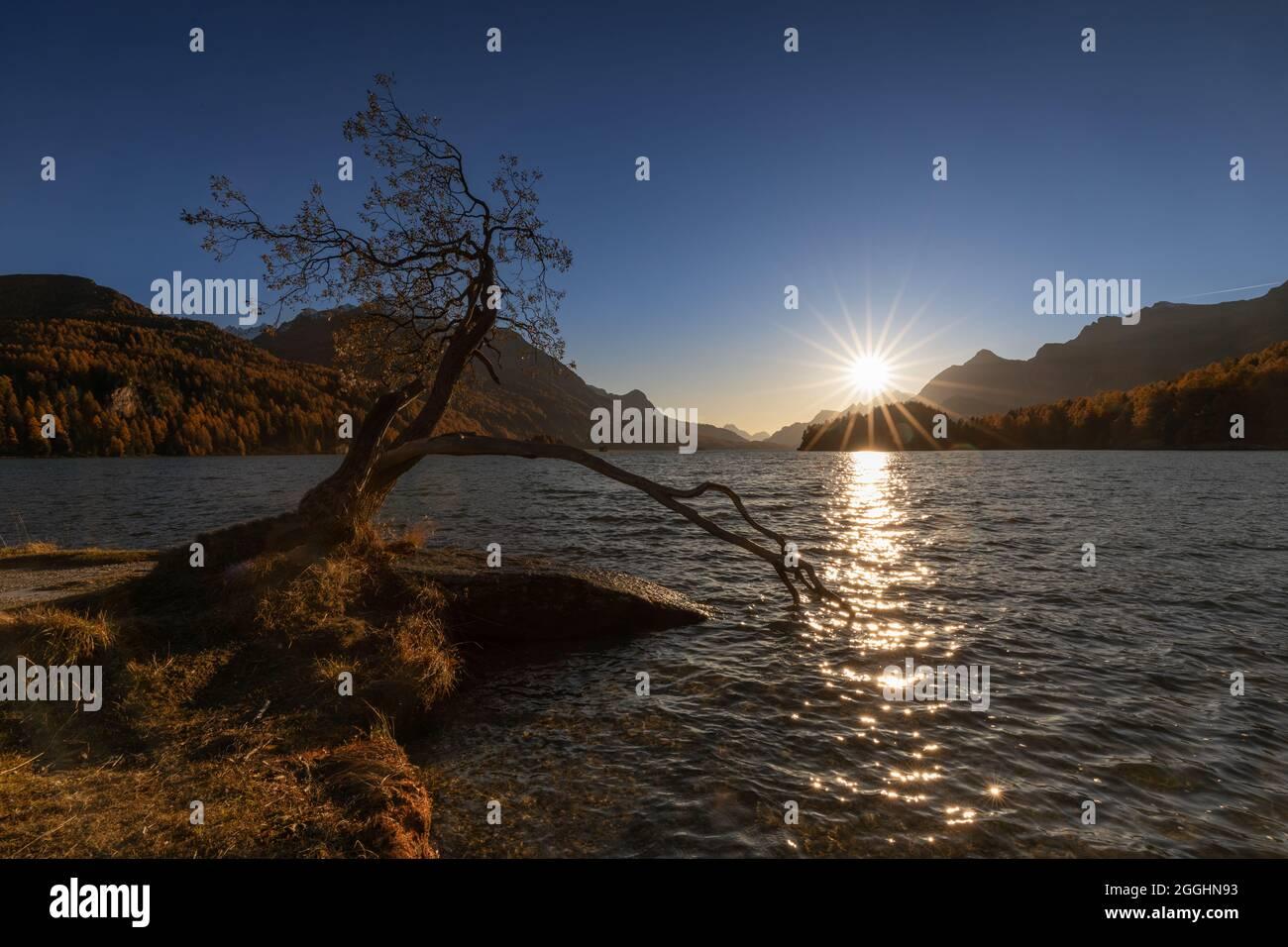 alter knorriger Baum, mit ins Wasser ragender Wurzel oder Ast am Silsersee in der Schweiz im Engadin im Herbst Stock Photo