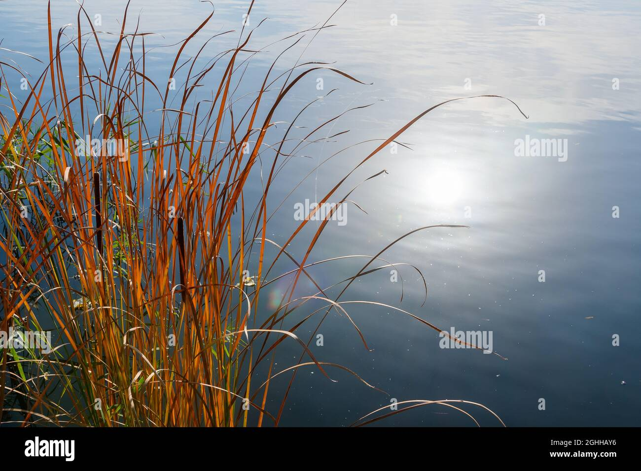 Thickets of reeds near the shore and the reflection of the sun in the water of the lake on an autumn day. Stock Photo