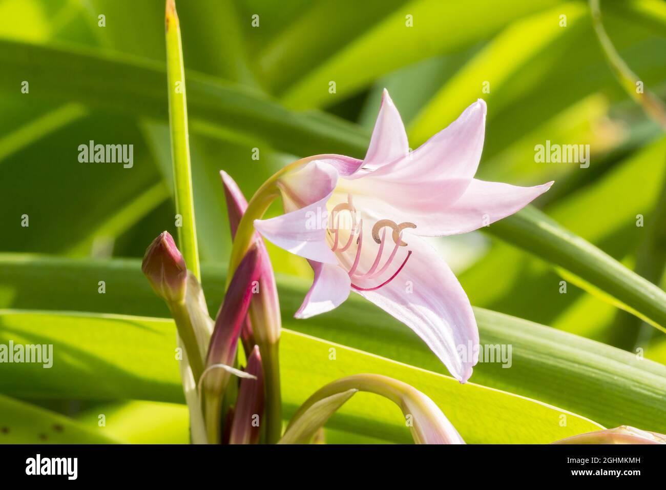 Crinum powellii 'Roseum' Stock Photo