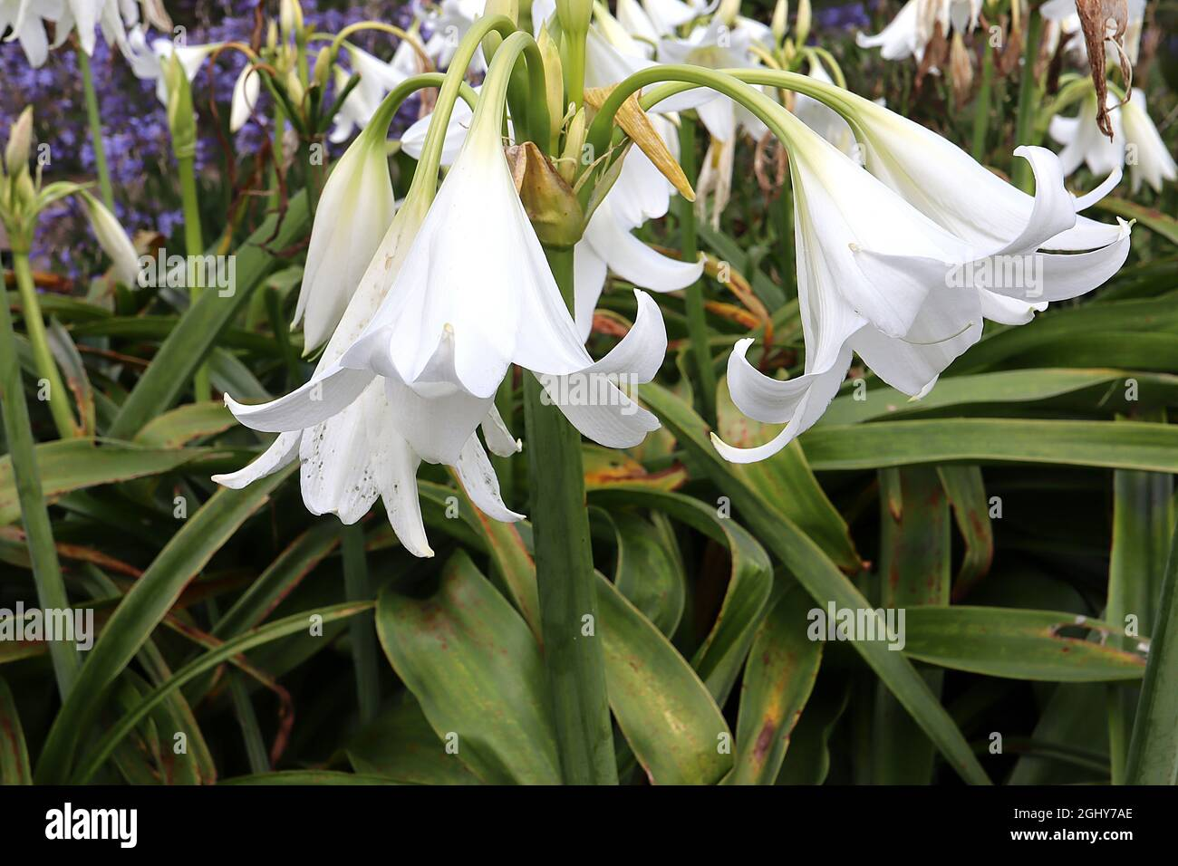 Crinum x powellii 'Album' swamp lily Album – scented large white funnel-shaped flowers and grey green strap-shaped leaves,  August, England, UK Stock Photo