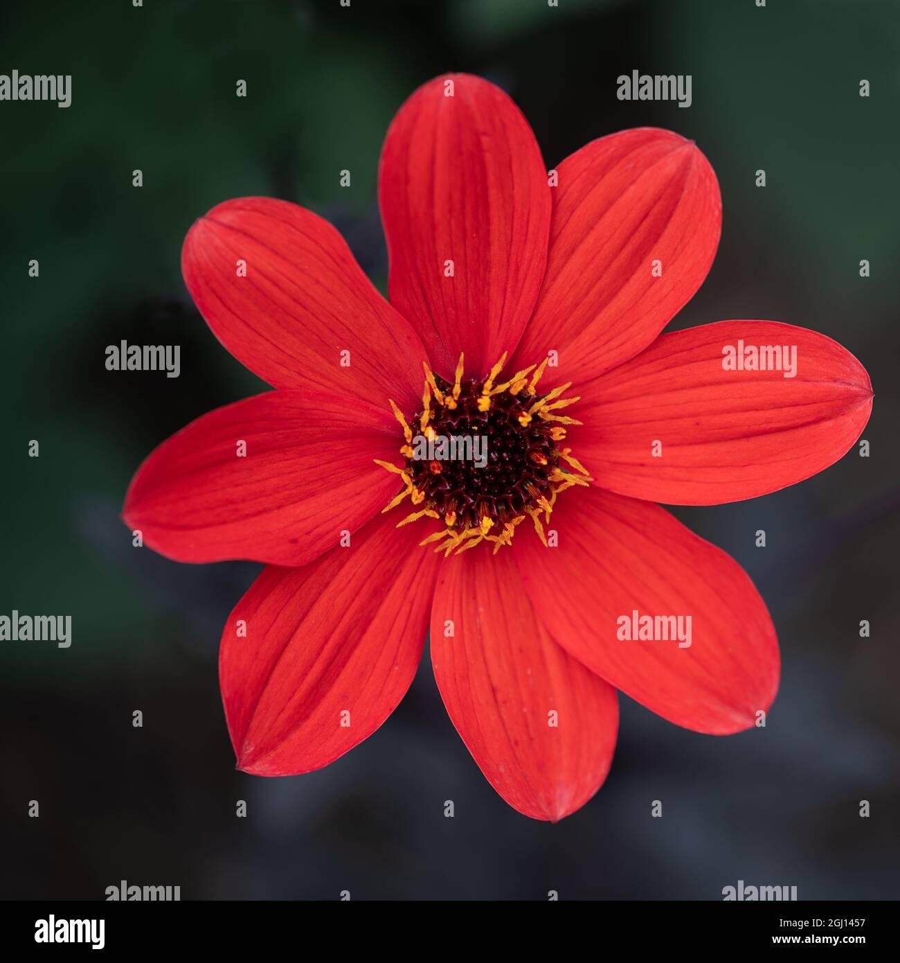 Closeup of the 'Bishop of Llandaff', a cultivar of the dahlia, a garden plant Stock Photo