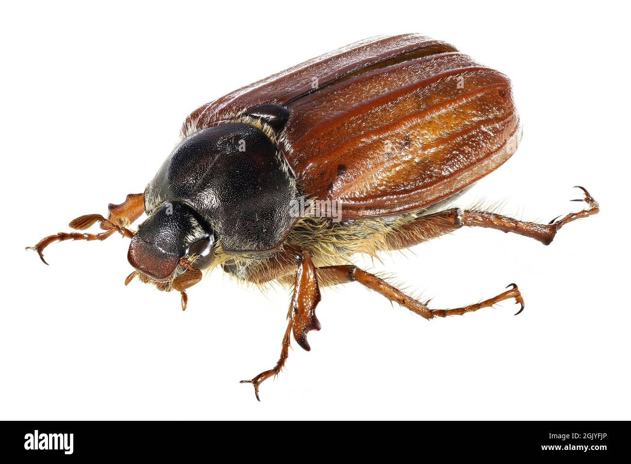 common cockchafer (Melolontha melolontha) from Rheinberg, Germany isolated on white background Stock Photo