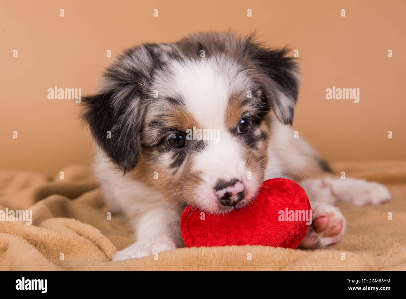 Red Merle Australian Shepherd puppy with copper points, six weeks old, sitting with red heart in front of light brown background Stock Photo