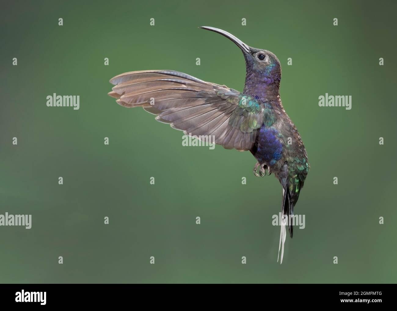 Violet Sabrewing (Campylopterus hemileucurus) hummingbird hovering, Costa Rica Stock Photo