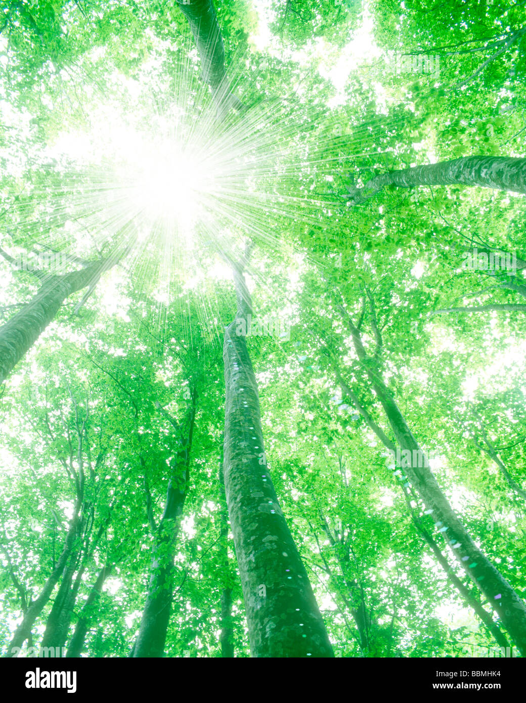 Sunshine through trees, view from below - Image BBMHK4 © Image Werks Co.,Ltd. / Alamy