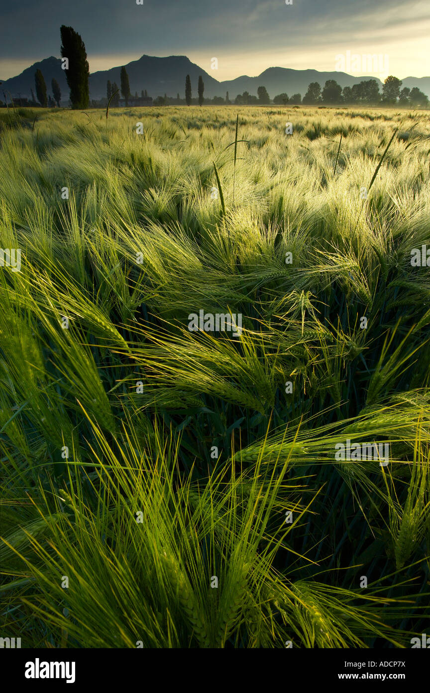 A barley field at dawn near Gubbio - Image ADCP7X  <div style=