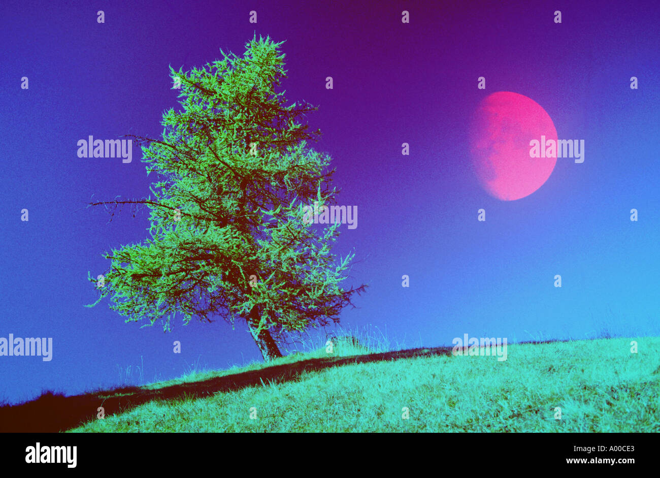 Red moonrise larchtree Effect - Stock Image