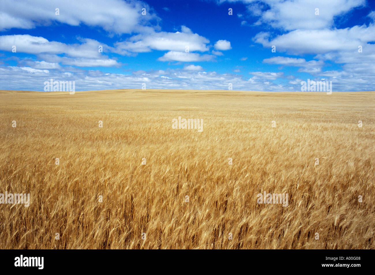 Golden wheat awaits harvest under cloud filled sky Watford City North Dakota Stock Photo