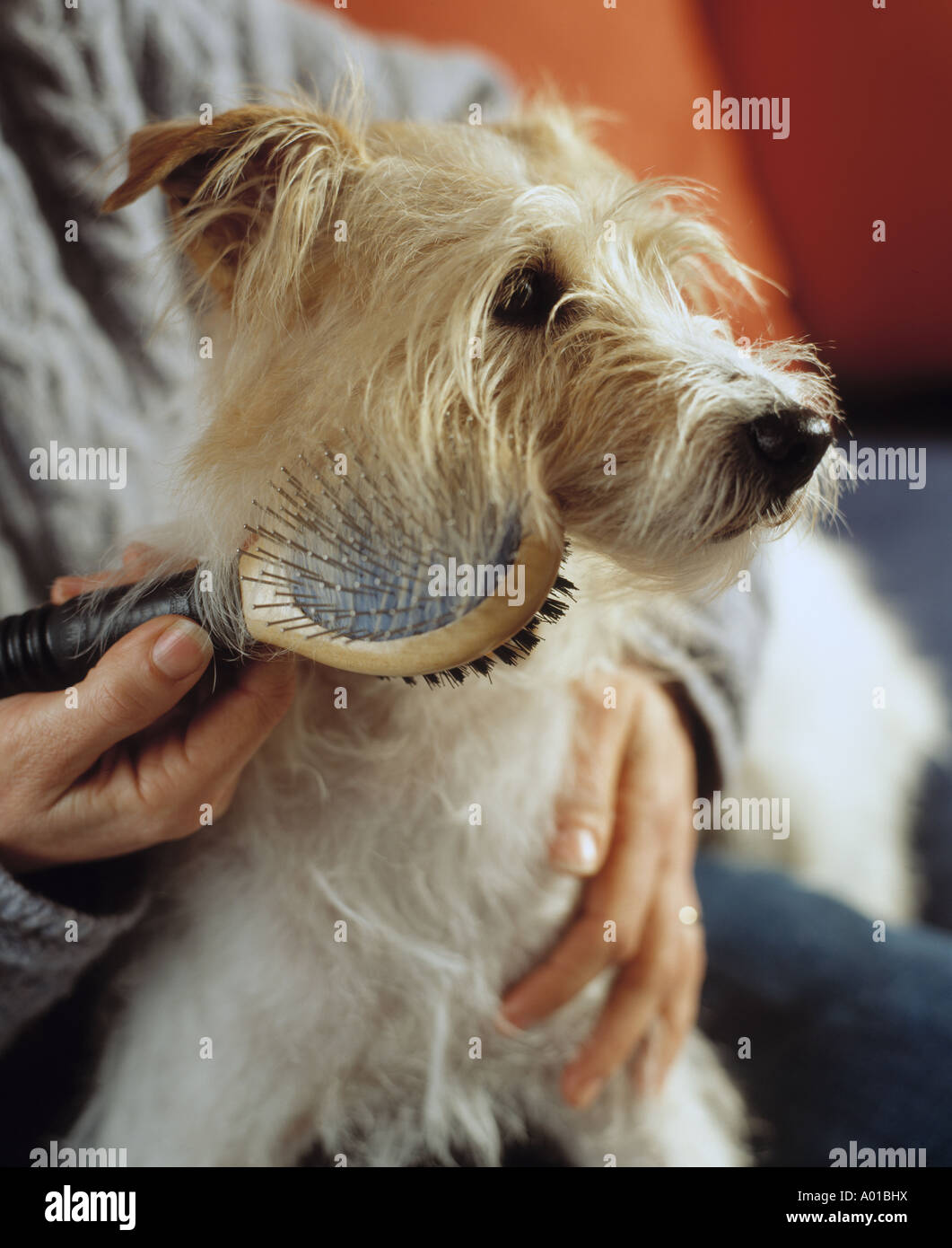An owner grooming a wire haired terrier - Stock Image