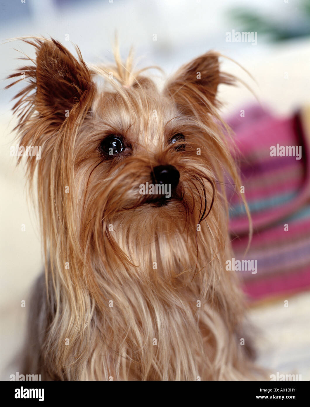 Yorkshire Terrier on sofa - Stock Image