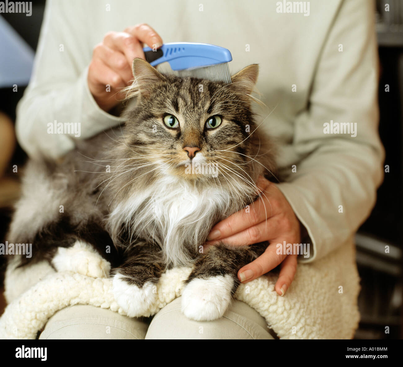 Cat being groomed by its owner - Stock Image