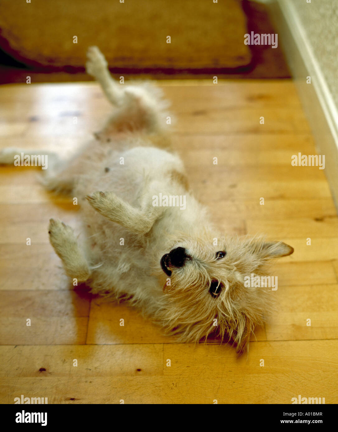 Wire Haired Terrier Rolling on the Floor - Stock Image