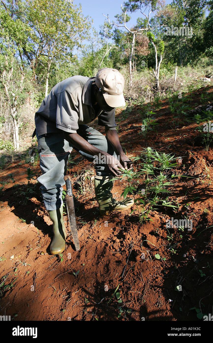 A man tends his ganja plants, Jamaica - Stock Image