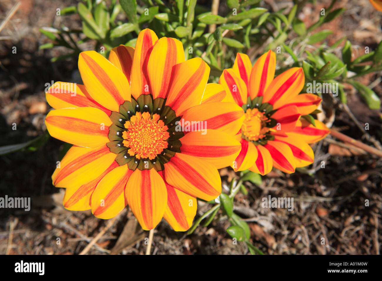 Gazania Yellow And Red Striped Daisy Flowers Detailnew South Wales